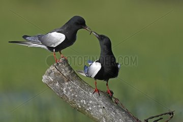 Male White-winged black tern making a present to his mate