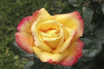 Rose 'Pullman Orient Express' in bloom in a garden