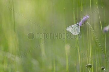 Black-veined White on a flower - Burgundy France