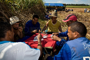 Sugarcane cutters play cards during lunch break in the field  Brazil.