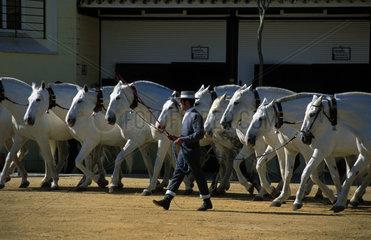 Jerez de la Frontera purebred carthusian horses during a show of the Bocado stud farm