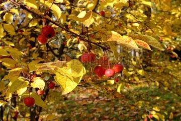 Feuillage et fruits d'un pommier d'ornement en automne