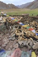 Pashmina goats and sheep back for the night - Ladakh India