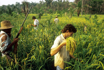 Squatters. Cooperative rice harvesting for protecting against attack from gunmen hired by large landowners. Community organizing for land reform. East Amazon; Eldorado farm; State: Tocantins; Brazil.