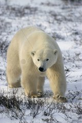 Male polar bear going State of Manitoba Canada