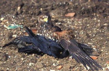 Rapace utilisé pour la destruction des oiseaux nuisible