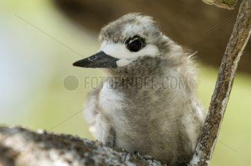 Young white Tern Bird Island Tikehau French Polynesia
