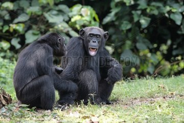 Female and young chimpanzees communicating sat Uganda