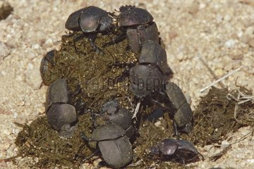 Dung Beetle group on elephant excrement South Africa