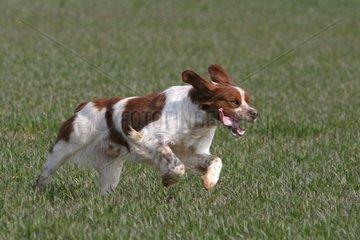Brittany spaniel running in fields France