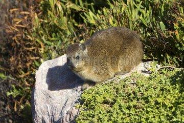 Rocks Hyrax on a rock - South Africa