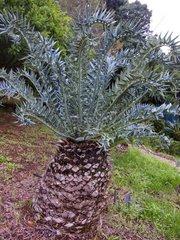 Eastern Cape blue cycad - Kirstenbosch South Africa