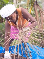 Black woman threshing a__a__ fruit  Amazon rainforest  Brazil. Sustainable work.