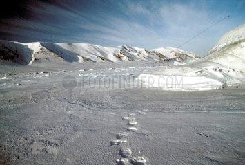 Fresh traces of Polar bear on the ice-barrier Spitzberg