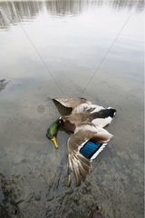 Cadavre de Canard colvert sur une berge d'étang France