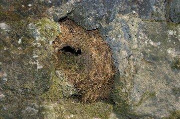 Nid de Cincle plongeur dans une infractuosité rocheuse