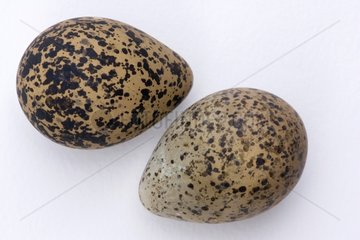 Two Northern Lapwing eggs on a white background