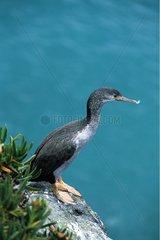 Cormorant at rest in the Otago Peninsula