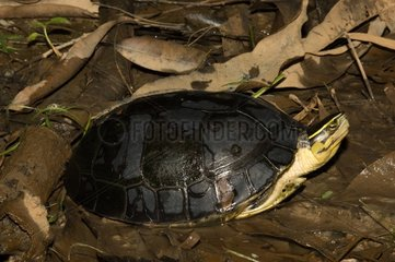 Southeast Asian Box Turtle on ground