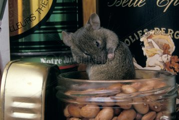 Common House Mouse in a full jar in a closet France