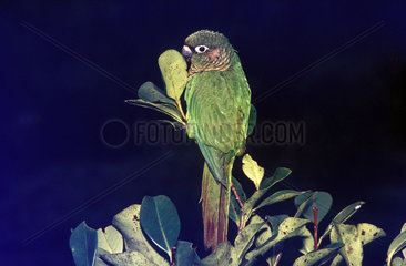 Reddish-bellied Parakeet  Tiriba-da-testa-vermelha (Pyrrhura frontalis)  bird from the brazilian fauna  Brazil.