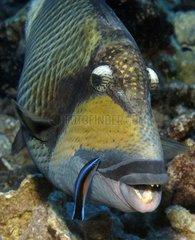 Titan Triggerfish Tuamotu French Polynesia