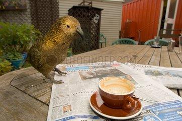 Kea on table at caffe - New Zealand