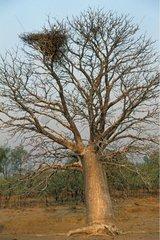 Eagle nest in a baobab tree Kimberley Australia