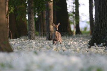 Deer in a field of garlic bears in the Alsatian Ried