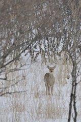Sika Deer surprised in the snow Japan