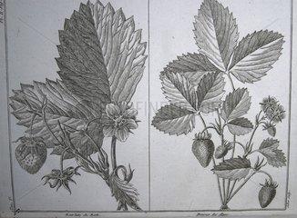 Lithographie d'ancienne variété de fraisier France
