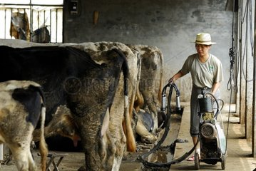 Draft of the cows mechanized in Chinese province China