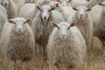 N__SUDDEN GOTLAND SWEDEN Sheep and lamb __Alexander Farnsworth