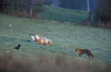 Renard roux  corneille et moutons Vosges France
