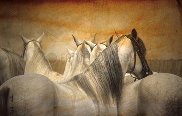 Horses show arabe-camargue in training
