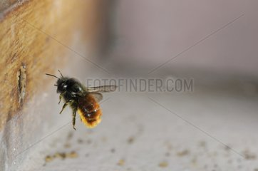 Red Mason Bee flighting with pollen in front of a window