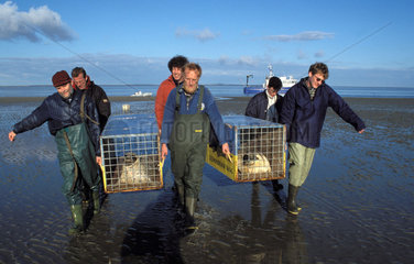 Ecomare Texel the releasing of common seals on the sandbanks of the wad