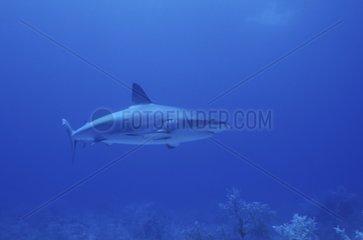 Requin de récif nageant Nassau Bahamas