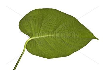 Anthurium leaf in studio