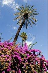Bougainvilleas and palm trees Méditerrannée Italy