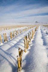 Corn thatches under snow France