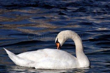 Cygne tuberculé nageant et se toilettant sur le lac Léman