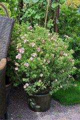 Shrubby cinquefoil 'Lovely Pink' in bloom on garden terrace