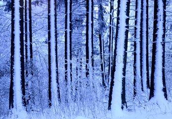 Forêt tempérée d'altitude en hiver en Haute Savoie en France