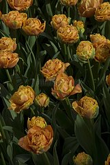 Fringed tulips 'Sensual Touch' in bloom in a garden