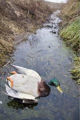 Cadavre de Canard colvert dans le ruisseau d'un fossé