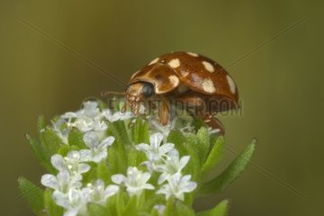 Cream-spotted Lady Beetle posed on an inflorescence France
