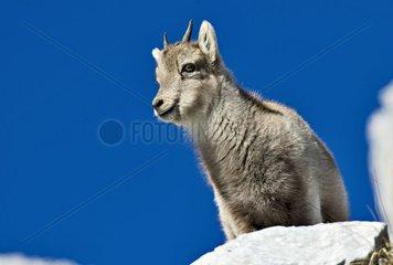 Young Ibex Massif des Bornes Alps France