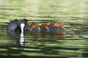 Female Common Coot with its fledglings on water Germany