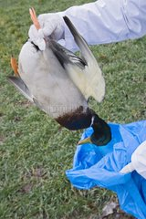 Bagging of a dead wild duck France
